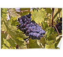 Grapes of Chianti Poster