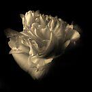 Camellia by Barbara Morrison