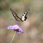 Old World Swallowtail  by hummingbirds