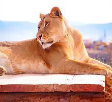 Lioness by Jenna Boettger Boring