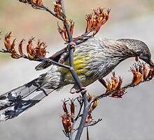 Australian Red Wattle Bird by Graeme Bayley