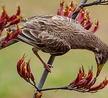 Australian Wattle Bird Feeding. by Graeme Bayley