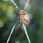 St Andrew's Cross Spider by LeJour