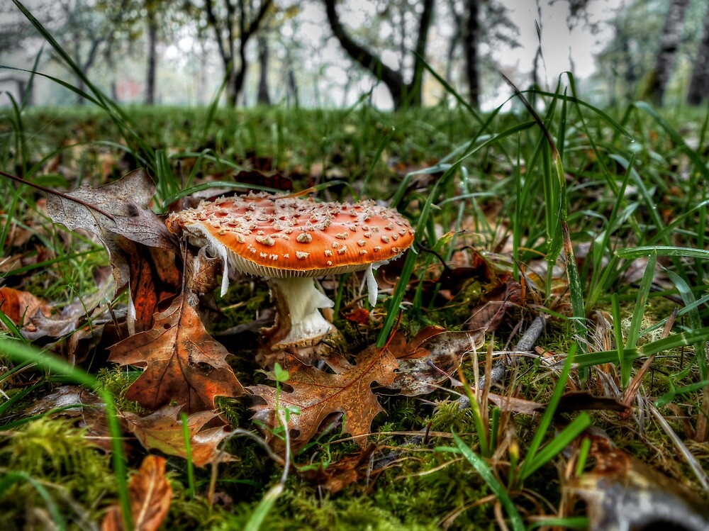 Just Little Old Me ~ Amanita muscaria  ~ by Charles & Patricia   Harkins ~ Picture Oregon