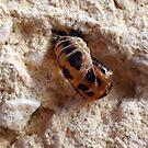 The birth of the Lady bird / Ladybug by Heidi Mooney-Hill