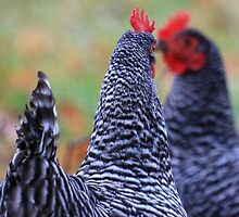Mirrored Roosters by Lisa Cook
