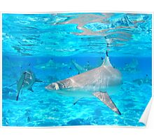 Black Tip Reef Sharks - Bora Bora Poster