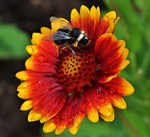 Bee on a Blanket Flower by Paula J James