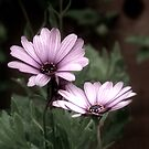 2 Pink Flowers by davesphotographics