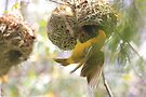 Masked Weaver's nest-building skills by Maree  Clarkson