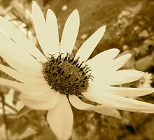 Sunflower  by malipsey