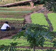 Cultivating vegetables, Luang Prabang, Laos by indiafrank