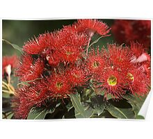 flower-eucalyptus-red-flora Poster