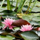 Water Lilies in pond at Golf Club by EdsMum