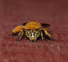 Bumble Bee by jaclyn-kavanagh