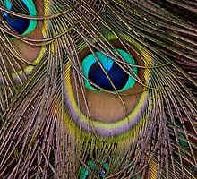 Peacock Plumage by margotk