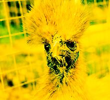MENTAL CHICKEN!!! Funny animals by Be Eca