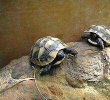 Baby Eastern Hermann's Tortoise  by Dennis Melling