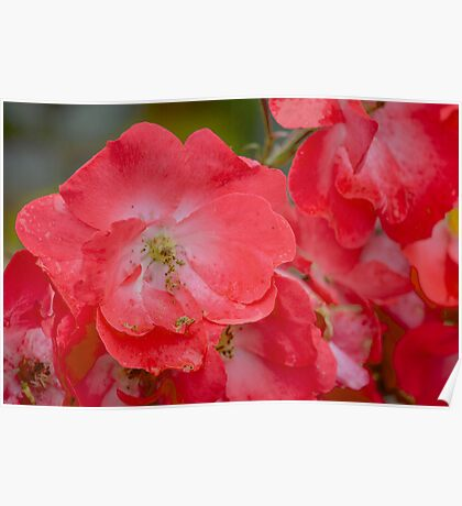 Raindrops on Roses, and Other Red Flowers Poster