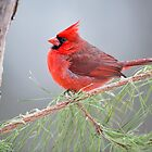 Cardinal in January by Bonnie T.  Barry