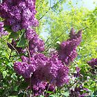Lilac tree by robertribbit