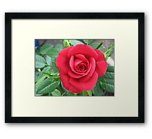 A Soft and Gentle Rose Framed Print