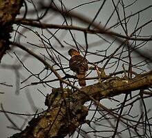 Sharp-shinned Hawk by Burr Tweedy