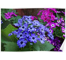 Cineraria Flowers Poster