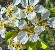Peach Blossom by barnsis