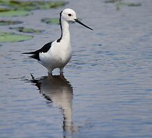 Reflected Stilt by byronbackyard