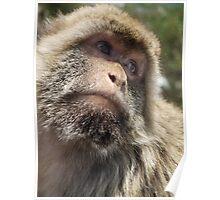Gibraltar Ape Barbary macaque Poster