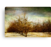 Winter in The Apple Orchard Canvas Print