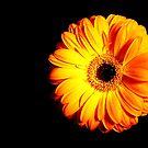 Gerbera - edition orange by Ronny Falkenstein