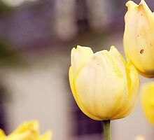 Yellow tulips by SassySnark