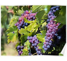 Grapes of Tuscany Poster