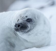 Portrait of a Grey Seal Pup by michelsoucy