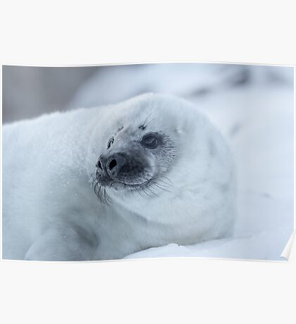 Portrait of a Grey Seal Pup Poster