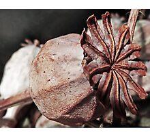 Poppy Seed Photographic Print