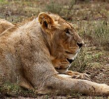 Strategising before dinner   -  Southern Serengeti Tanzania by john  Lenagan