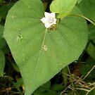 Heart Leaf by WildestArt