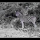 Zebra by Warren. A. Williams