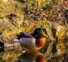 Mallard in reflective mood by Violaman
