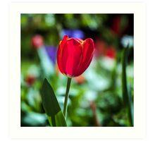 Tasmania Tulip Art Print