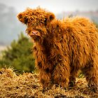 Highland calf by Violaman