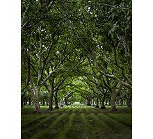 Orchard Photographic Print