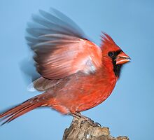 Cardinal with Extended Wings by Bonnie T.  Barry