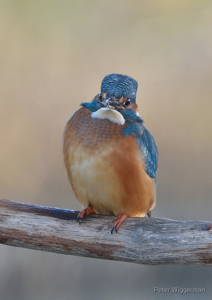 Kingfisher - IV by Peter Wiggerman