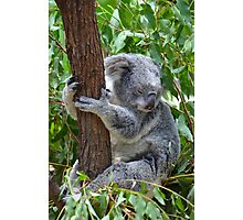 Sleepy Koala Photographic Print