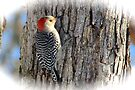 Red Bellied Woodpecker by NatureGreeting Cards ©ccwri