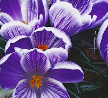 Petals in Purple by Vanessa  Warren